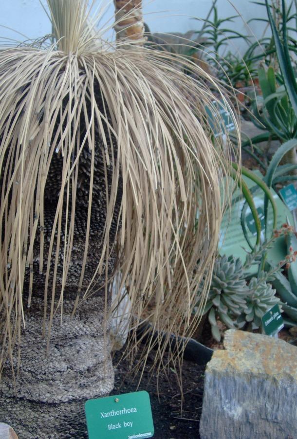 Black Boy Plant at Les Serres d'Auteuil -the Greenhouses in Paris