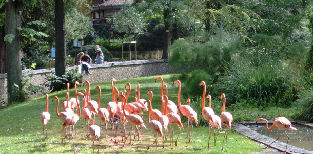 Flamingo Birds at Paris Zoo